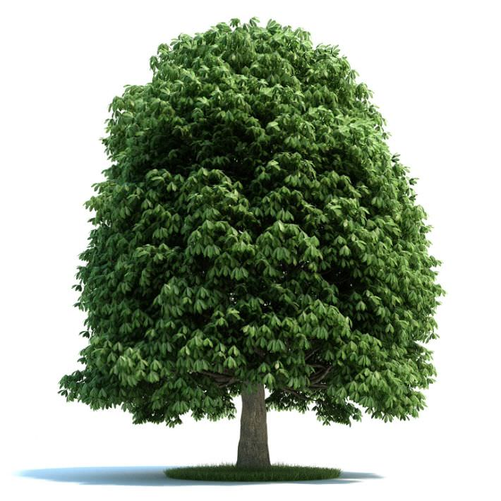 full grown aesculus plant 3d model cgtrader