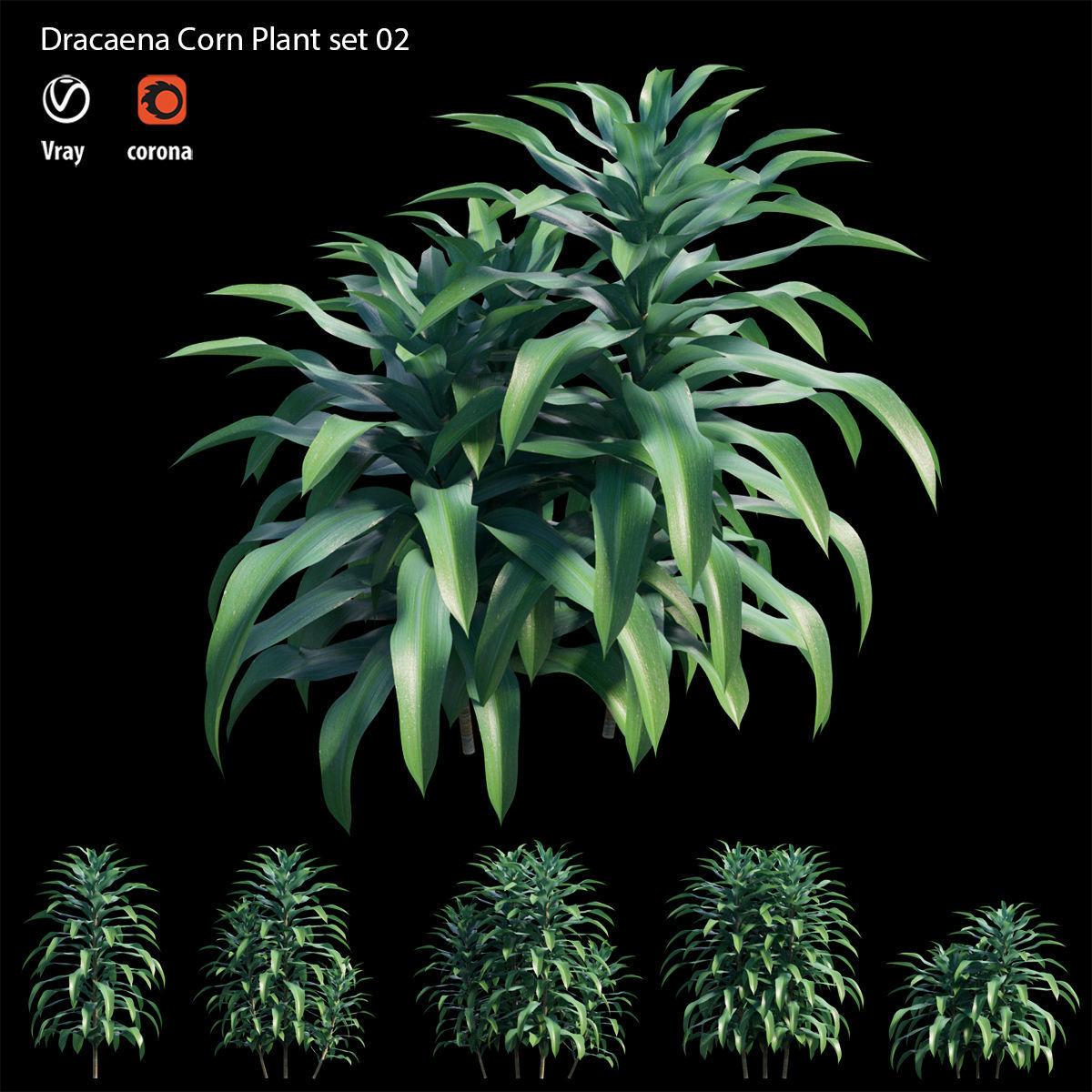 Dracaena Corn Plant set 02