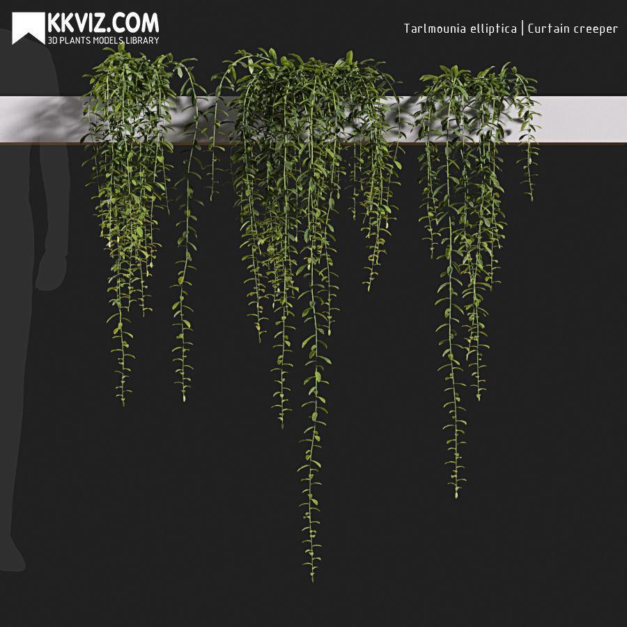 Tarlmounia elliptica  Curtain creeper-06