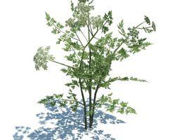 Annual Herb Plant Fool s Parsley 3D model