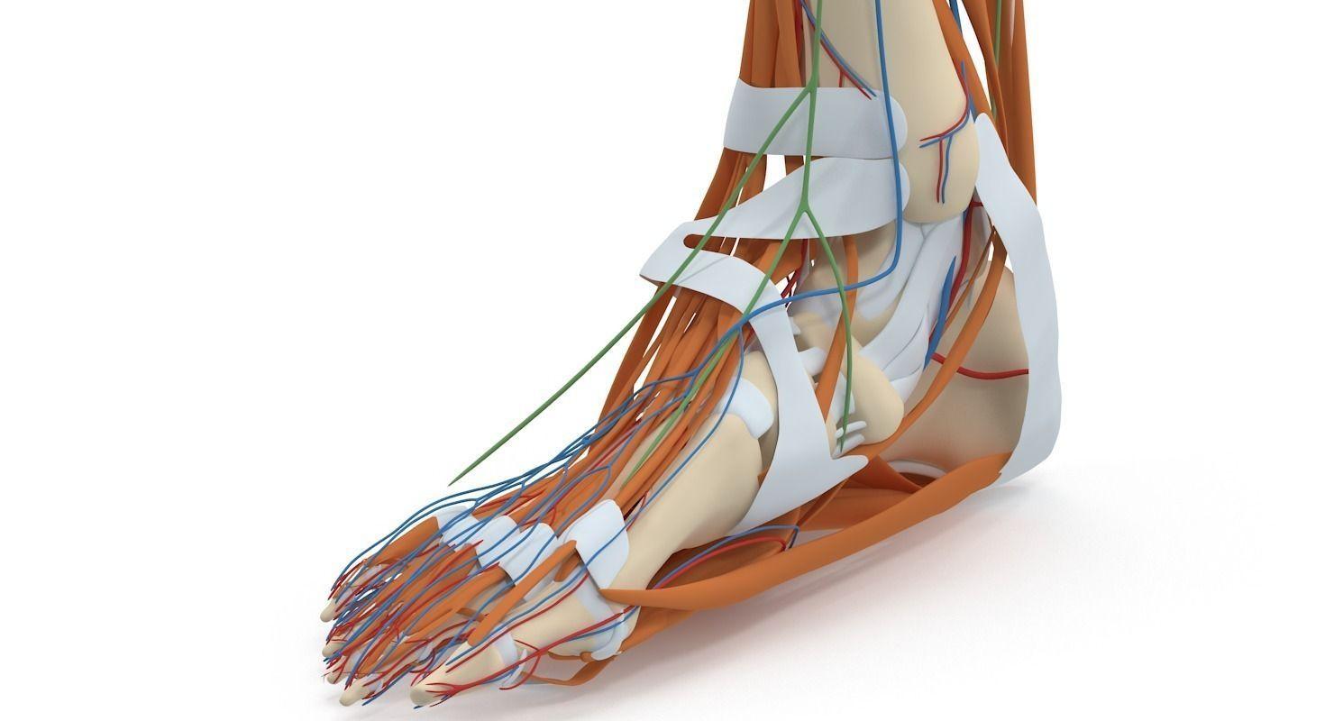 3D model Complete Foot Anatomy | CGTrader