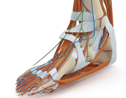 complete foot anatomy 3d model