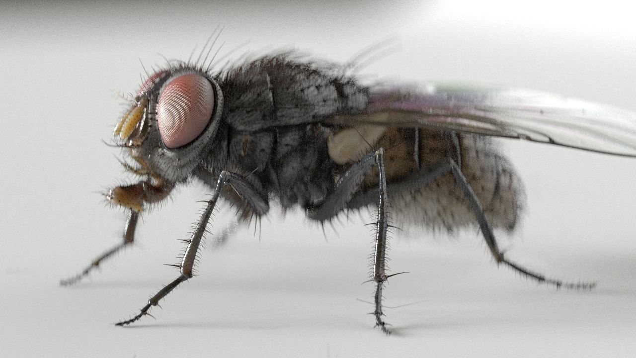Housefly rigged and animated for Cinema 4d