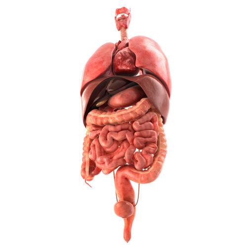 Human internal organs | 3D model