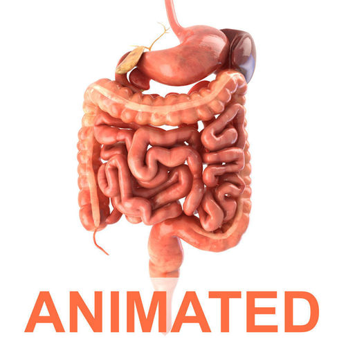 digestive system animated 3d model rigged animated max obj fbx c4d lwo lw lws 1