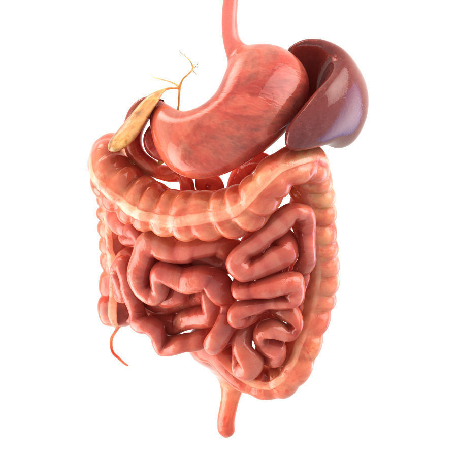 3D model Digestive system Animated VR / AR / low-poly rigged ...