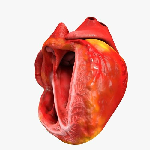 animated realistic human heart - medically accurate 3d model low-poly animated obj 3ds fbx c4d dxf stl 39