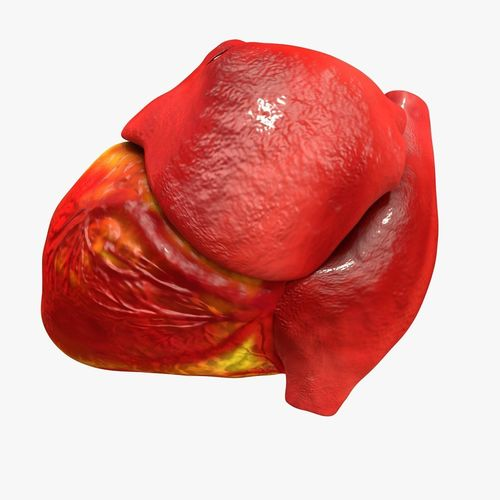animated realistic human heart - medically accurate 3d model low-poly animated obj 3ds fbx c4d dxf stl 25