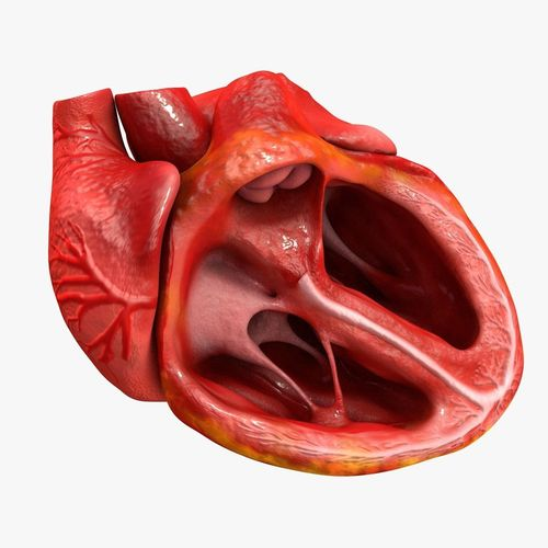 animated realistic human heart - medically accurate 3d model low-poly animated obj 3ds fbx c4d dxf stl 16