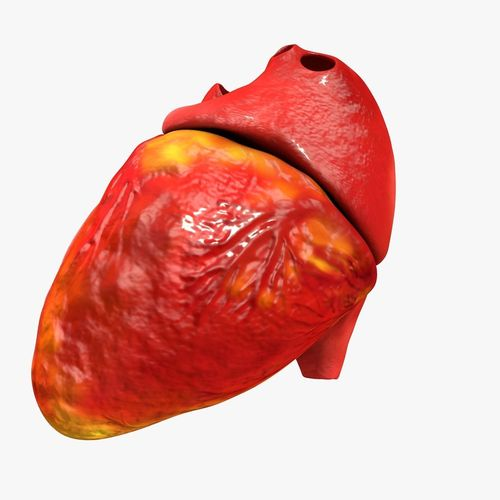animated realistic human heart - medically accurate 3d model low-poly animated obj 3ds fbx c4d dxf stl 33