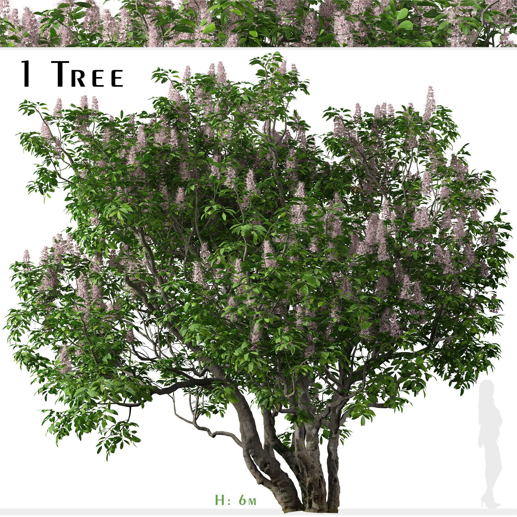 California buckeye or Aesculus californica Tree