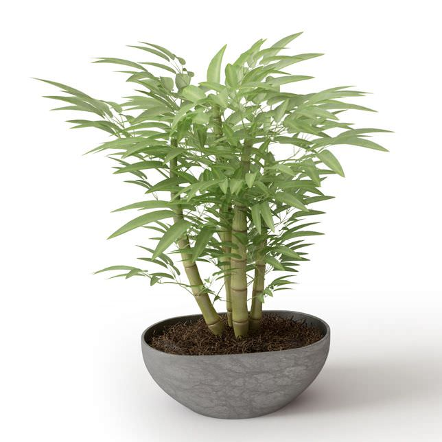 3d Small Potted Bamboo Plant Cgtrader