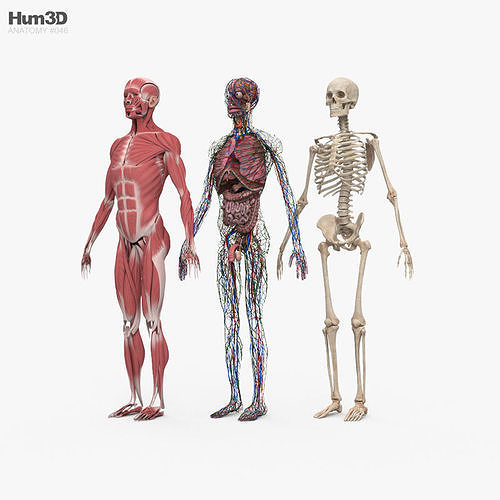 Complete Male Anatomy
