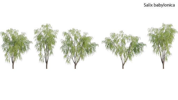 Salix babylonica - Weeping Willow