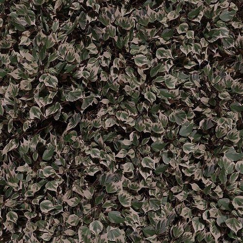 Algerian Ivy Plant Twigs