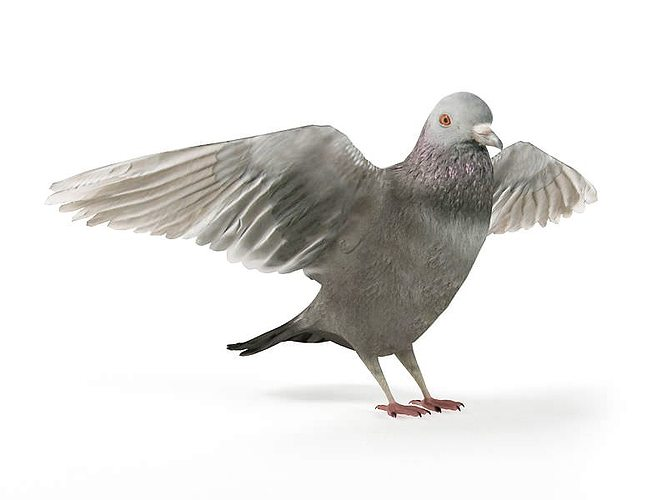 grey bird pigeon 3d model obj mtl 1