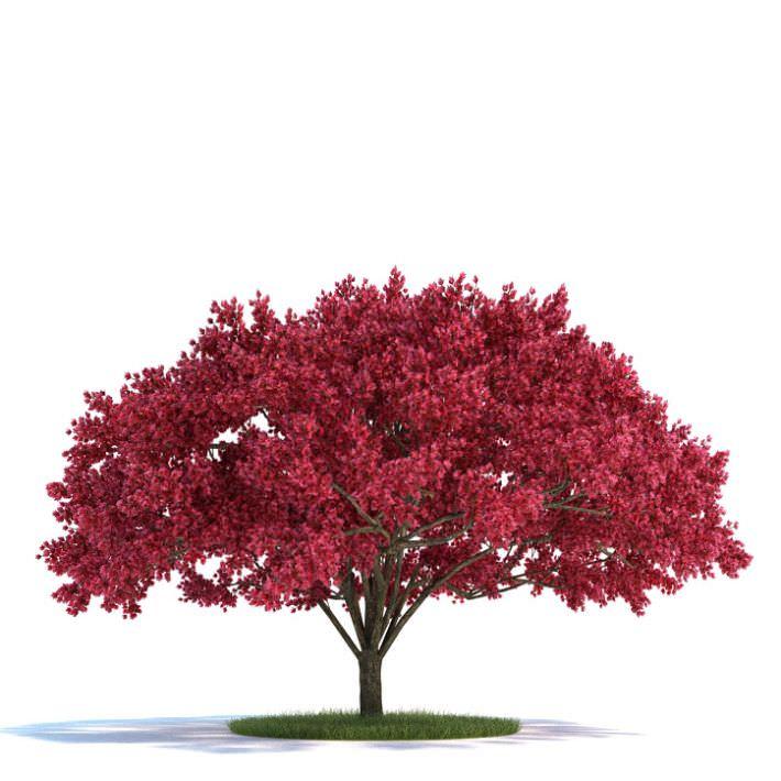 Large Cherry Tree 3D Model