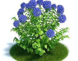 3d model hydangea garden plant
