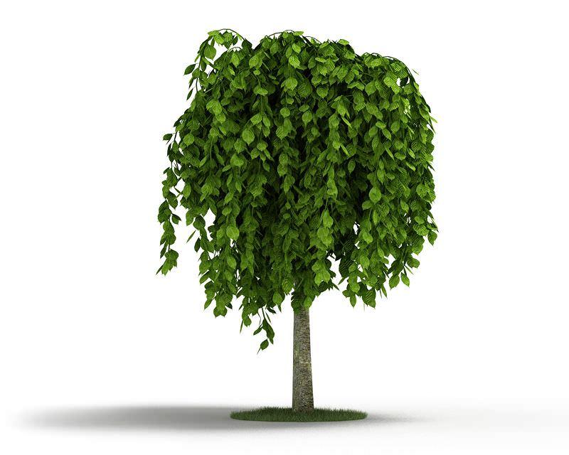 Short Weeping Tree 3d Model Cgtrader