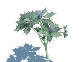 3d model plant eryngium maritimum