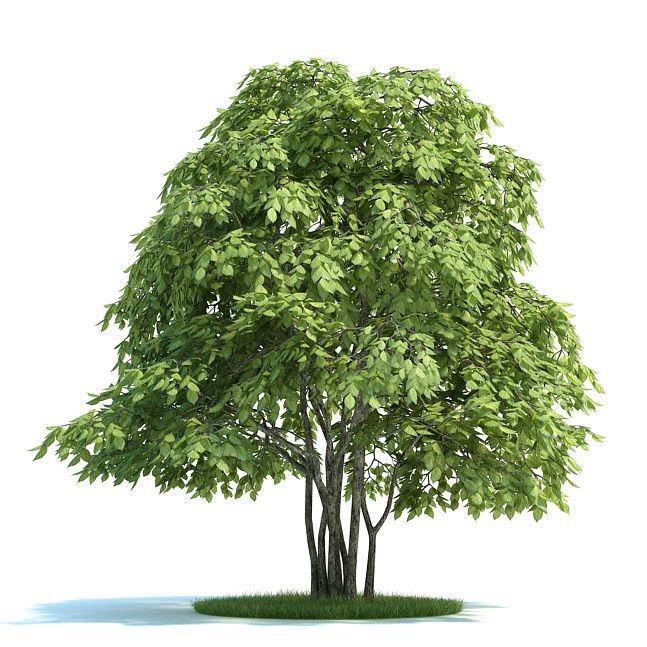 Tree Staphylea Pinnata