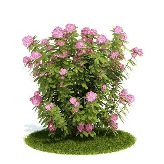 Pink Flowering Bush 3d Cgtrader