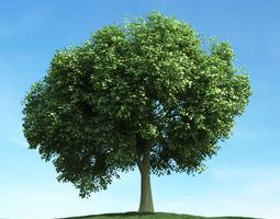 Mature Oak Tree 3D model