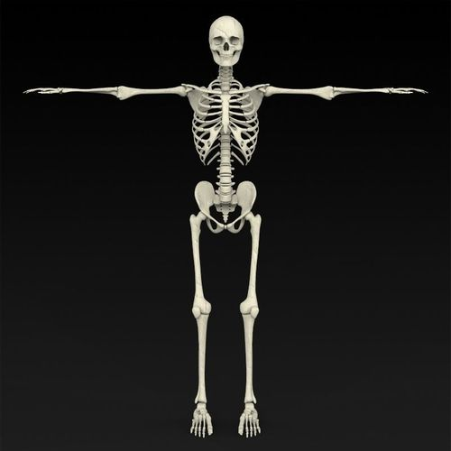 3d realistic human skeleton cgtrader