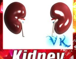 Human Kidneys 3D Model