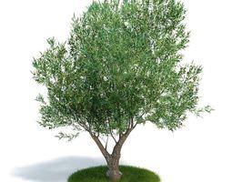 Tree Olea Europaea Young Olive Evergreen Shrub 3D Model