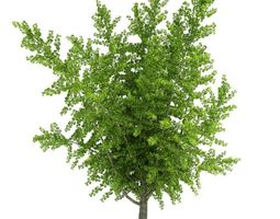 3d ginkgo biloba plant