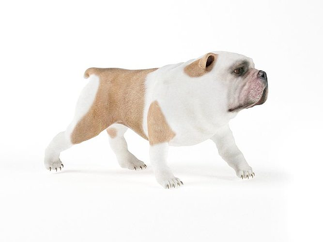 english bulldog 3d model obj 1