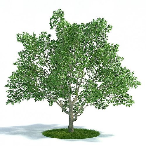 green magnolia virginiana  leafy tree 3d model  1