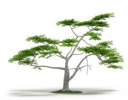 Green Acacia Constricta Tree 3D