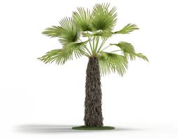 green trachycaprus tree 3d model