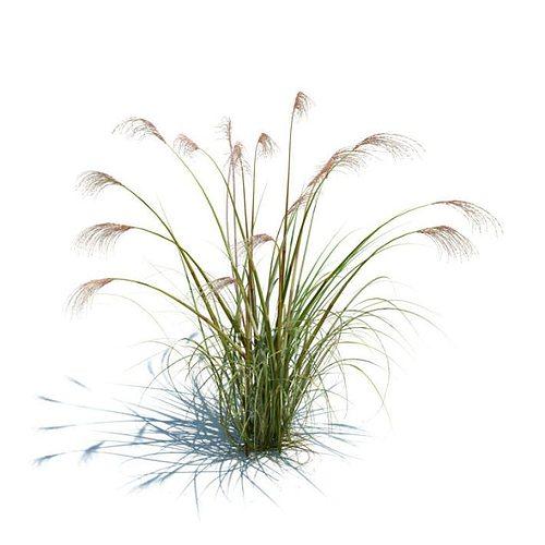Green tall grass 3d model cgtrader for Long grass plants