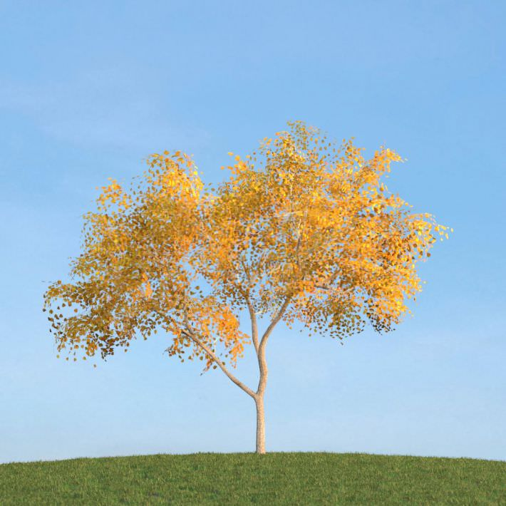 Mature Birch Tree