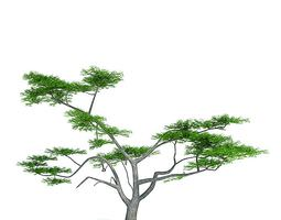 3D Green Acacia Constricta Tree