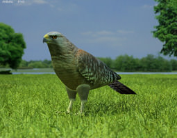 Red-Shouldered Hawk Buteo Lineatus 3D asset