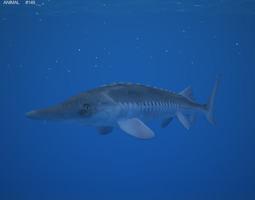 Atlantic Sturgeon Acipenser Oxyrhynchus 3D Model