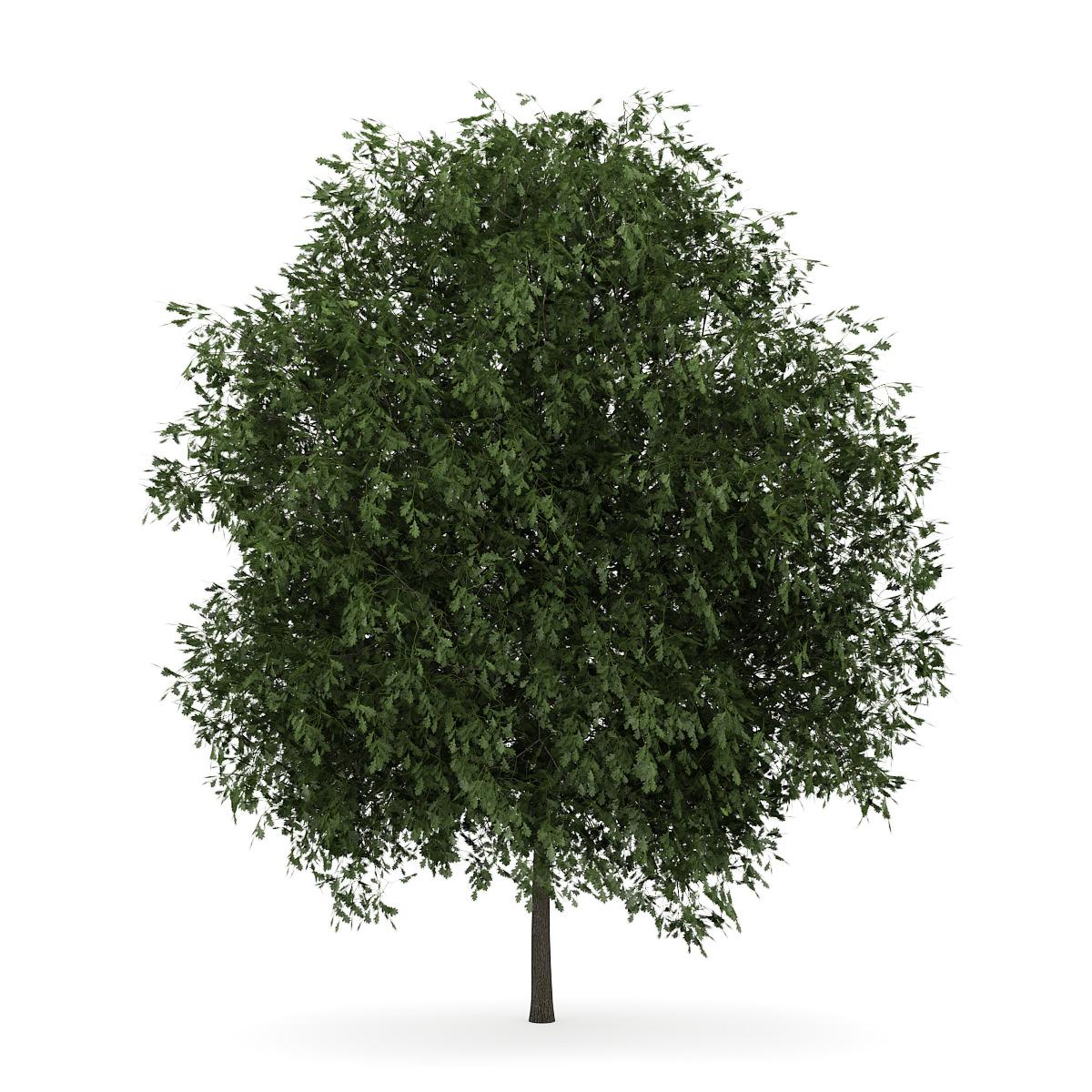 English Oak 3 Quercus Robur 3d Cgtrader