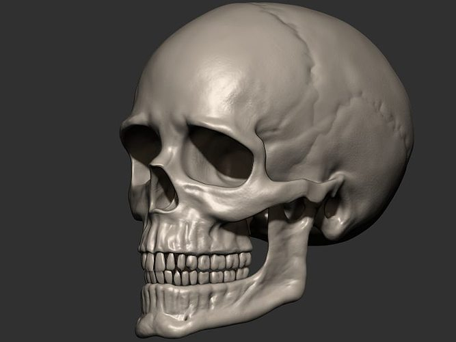 Skull anatomy 3D print model   CGTrader