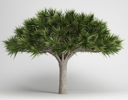 canary islands dragon tree 3d