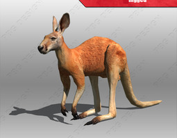kangaroo 3d model rigged animated max 3ds fbx mtl