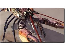 Lobster 1 Homarus Gammarus Studio Max 3D model