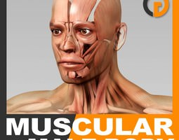 Human Male Body and Muscular System - Anatomy 3D Model