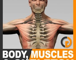 Human Male Body Muscular System and Skeleton - Anatomy 3D Model