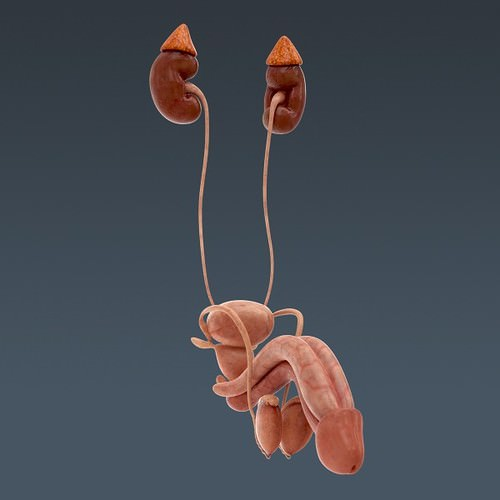 human urinary and reproductive system - anatomy 3d model max obj 3ds fbx c4d lwo lw lws 5
