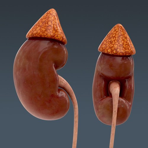 human urinary and reproductive system - an... 3d model max obj 3ds fbx c4d lwo lw lws 4