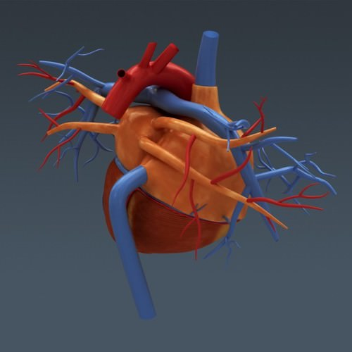 human body internal organs - anatomy 3d model max obj 3ds fbx c4d lwo lw lws 27